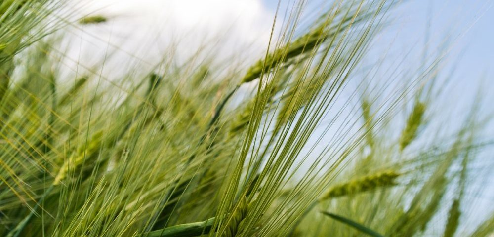 Weizen aus dem Weizenkeimöl gepresst wird